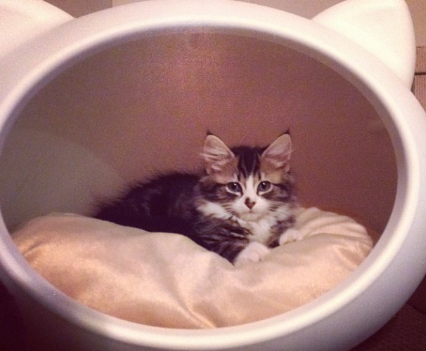 lady dinah's cat emporium kitten